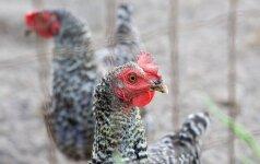 Anglijos fermose - paukščių gripo protrūkis