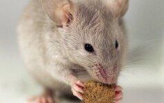 Žiurkių ir blusų draugija: ką gali padaryti namo gyventojai