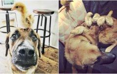 Šunį užplūdo motiniški jausmai: kasdien stebi, ar viščiukams viskas gerai