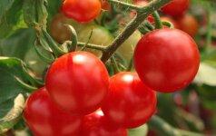 Pomidorai. Kaip apsaugoti juos nuo maro?