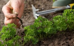 Pagrindiniai principai, kaip naikinti piktžoles darže ir vejoje