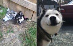 Šios nuotraukos priverčia juoktis iki ašarų: parodo, kokie iš tikrųjų yra haskiai