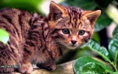 Neįmanoma nesižavėti škotų miškinės katės jaunikliu
