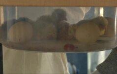 Prancūzo surengta kiaušinių perėjimo akcija artėja prie pabaigos