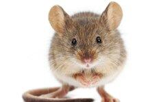 Kaip žinoti, kad namuose atsirado pelių?