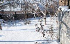 Žiemos rūpesčiai sode: kaip sulaikyti sniegą