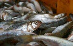 """Pamario žvejų laimikis: """"išgudrėjusias"""" menkes keičia agurkais kvepiančios stintos"""