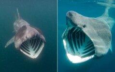 Gyvūnas, kurį išvydus pašiurpsta oda: susipažinkite su milžinrykliu