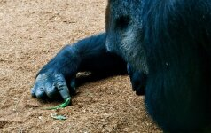 Miela akimirka: gorila susižavėjo mažuoju atklydėliu