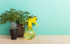 Nepamainomas kambarinių augalų trąšų receptas