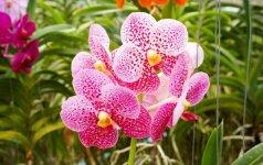 Populiarios orchidėjos, kurias paprasta auginti (2 dalis)