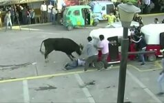 Peru surengtas bėgimas nuo bulių neapsiėjo be sužalojimų