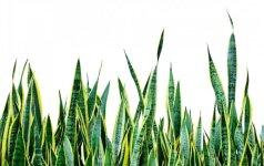 Kambariniai augalai, kuriuos dauginti lengviausia