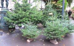 Gyvos kalėdinės eglės ekologiškesnės nei dirbtinės
