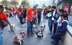 Siekiant pasaulinio rekordo, Meksike surinkta beveik 1 000 buldogų