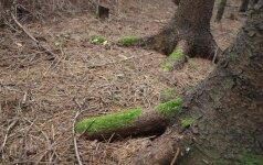 Investicijos į miškus - geriau nei auksas ar akcijos