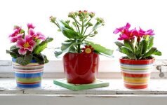 5 mažiausiai lepūs kambariniai augalai
