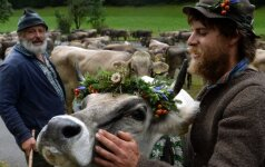 Lietuvė užfiksavo neįprastą reginį: kodėl taip spalvingai išpuoštos karvės?