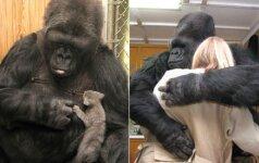 Netekome ypatingos gorilos, kuri mokėjo bendrauti gestų kalba