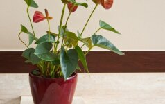 Kaip persodinti kambarines gėles?