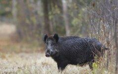 Įsakymas atšaukiamas: šernus medžios medžiotojai, o ne miško savininkai