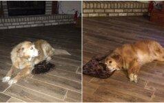 Šuns meilė šeimininkui: netikusi dovana vertinama tarsi vienintelė ir nepakartojama