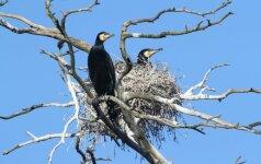 Paaiškino, kas šiemet laukia kormoranų: vieni džiūgauja, kiti – nudelbia akis