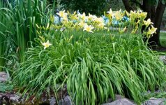 10 augalų, kurie puikiai auga molingame dirvožemyje