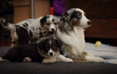 Australų aviganiai indėnų vadinti sielų šunimis