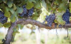 Vynmedžių auginimo pradžia: kuo reikėtų pasirūpinti