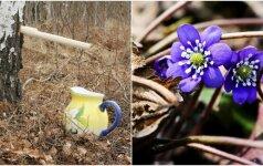 Pavasaris atėjo neįtikėtinai anksti: pražydo žibutės ir teka sula