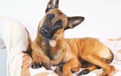 Kodėl šunys taip dažnai laižo savo kailį