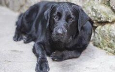 Pavogtas prie parduotuvės pririštas šuo
