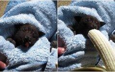 Sužavėjo internautus: tik pažiūrėkite, kaip šikšnosparnio jauniklė mėgaujasi bananu