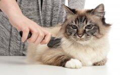 6 patarimai kaip prižiūrėti katės kailį