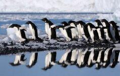 Pingvinų diena: nufilmuotos juokingiausios nesėkmės