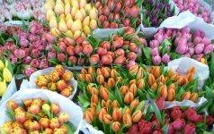 Sostinėje - daugiau nei 100 retų tulpių rūšių paroda