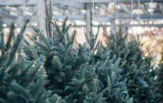 Ekspertų patarimai, kaip prižiūrėti kalėdinę eglutę