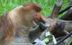 Pasaulį išvydo trys ilganosių beždžionių jaunikliai