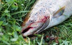 Žvejybos leidimai gali kainuoti 50 litų, tačiau žvejai mokėtų ir šimtą