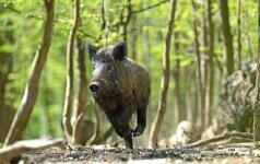 Įpareigojimas medžiotojams: kiek Lietuvoje liks šernų