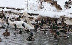 Ornitologai suskaičiavo Lietuvoje žiemojančius vandens paukščius