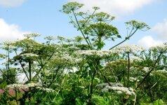 Mirtinas invazinis augalas: ką daryti, jei prisilietėme prie Sosnovskio barščio