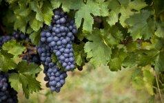 Lauko vynuogių priežiūra rudenį: ką nuveikti geresnio derliaus labui