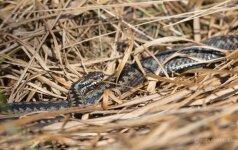 Miške tykantis pavojus: nuodinga gyvatė sunkiai pastebima