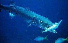 Žuvys, kurių geriau pasisaugoti: jos puola net žmones