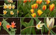 Pavasarį sveikina ir Kauno botanikos sodo tulpės: pražydo retos rūšys
