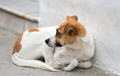 Žiaurumui nėra ribų: surastas pakartas šuo