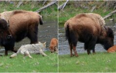 Kojotas bandė užpulti bizono jauniklį: jo motina plėšrūnui užkūrė tikrą pirtį