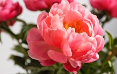 Birželį karaliauja bijūnai: patarimai, kaip auginti